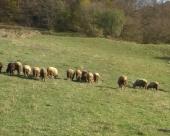Farma ovaca u gradu