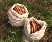 Sve više šargarepe u Paraćinskom kraju