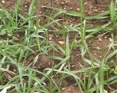 Pšenici potrebne padavine