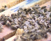 Pčele ugrožene