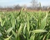 Stanje pšenice u niškom kraju