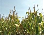 Nov GMO kukuruz dobija zeleno svetlo u EU