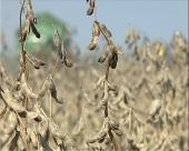 Mala proizvodnja soje u RS