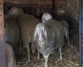 Arapi traže pirotsku jagnjetinu
