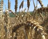 Skok cena žitarica moguć i u BiH