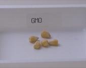 Francuska zabranila GMO kukuruz