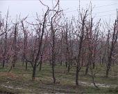 Uticaj padavina na voćke