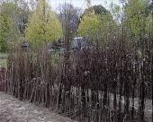 Trsteničke sadnice u Rusiji