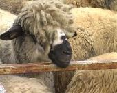 Doprinos razvoju stočarstva