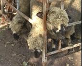 Izraelci otkupljuju jagnjad u Svrljigu