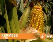 Hibridi kukuruza kasnije grupe zrenja