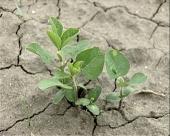 GMO soja na više hiljada hektara?