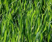 Rđa pšenice