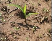 Stanje kukuruza u niškom kraju