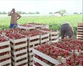 Smanjen izvoz jagoda u Rusiju