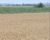 Premije za kvalitetnu pšenicu?