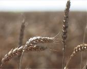 Žetva pšenice u južnom Banatu