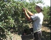 Berači voća u RS ove godine bez posla