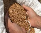 Prve zvanične procene roda pšenice