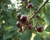 Pegavost lista višnje i trešnje