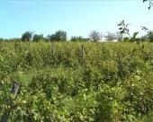 Stanje u niškom vinogorju