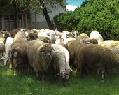 Ovčarstvo u opštini Ražanj