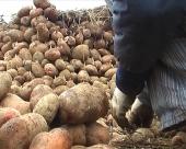 Manje krompira u Moravičkom okrugu