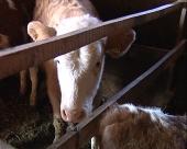 Subvencije za stočare i voćare