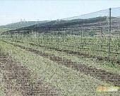 Zasadi trešnje iz sela Hum