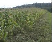 Organska proizvodnja kukuruza