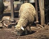 Sve više zaraženih ovaca