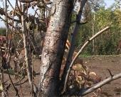 Krečenje debla voćnjaka