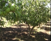 Pravovremena zaštita voćaka i vinove loze