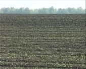 Pravovremena zaštita uljane repice od štetočina