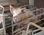 Manje carine na uvoz svinja