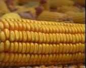 Kukuruz sa najmanje vlade najbolji za skladištenje