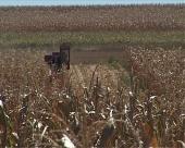 Berba kukuruza u Jablaničkom okrugu