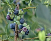 Tursko tržište traži bosansko voće