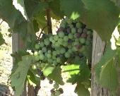 Loša godina niškog vinogorja