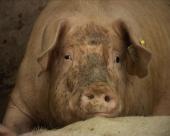 Farma od 1.500.000 svinja