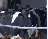 Zaštiti domaću proizvodnju mleka