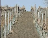 Priprema vinograda za sadnju