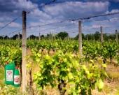 Primena Slavola u vinogradarstvu