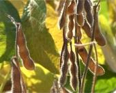 Kako se uništava GMO u Srbiji?