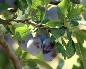 Jabuke odolele vrućinama