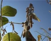 GMO soja u Srbiji?