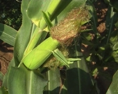 Kukuruz zasad bez aflatoksina, ali oprez