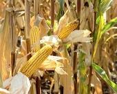 Novi hibridi kukuruza