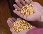 Budućnost je u kukuruzu