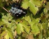 Jesenji i zimski radovi u vinogradu